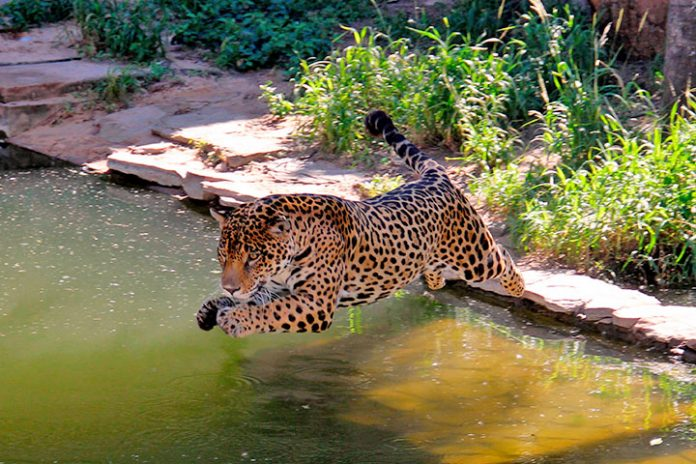 jaguar Zoológico Municipal de Santa Cruz