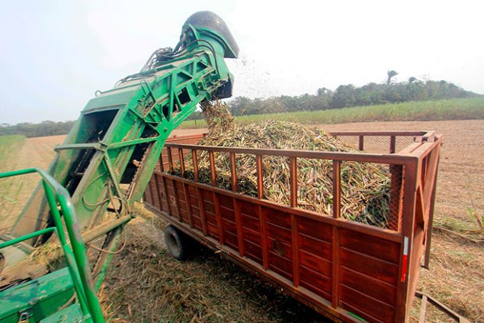 cosecha cana de azucar